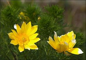 адонис весенний - горицвет