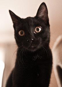 афроамериканский кот